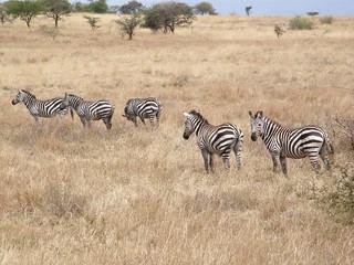 Cebras (Equus quagga)