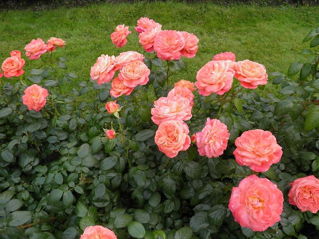 Rosa 'Queen of Hearts'