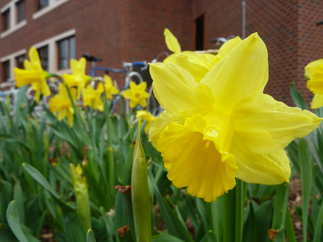 Daffodils and bicycles