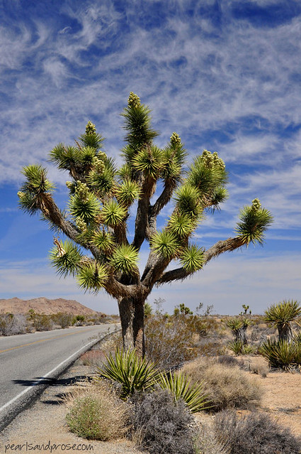 joshua_tree_web