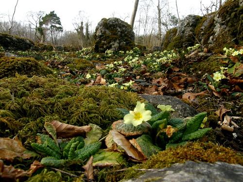 An abundance of primroses