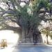 Majunga Baobab