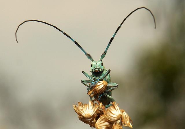 Longhorn Beetle (Anoplophora beryllina, Cerambycidae)