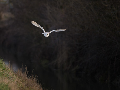 Barn Owl-hunting over drain