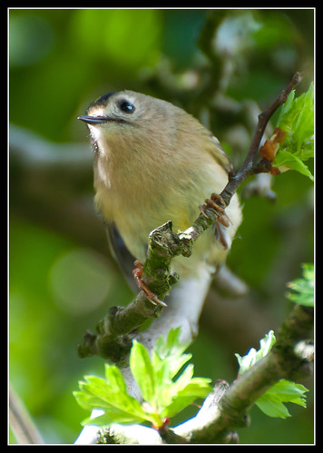 Goldcrest by jonny.andrews65