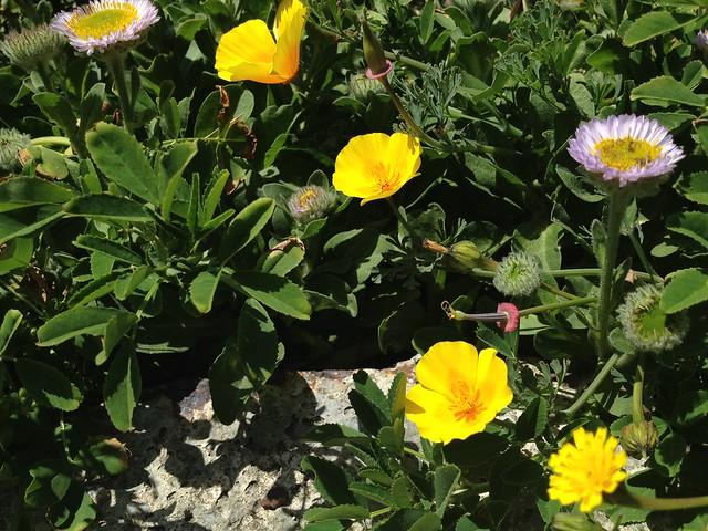 Yellow California poppies