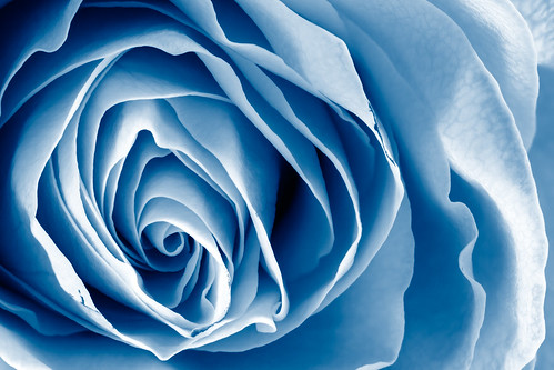 Blue Rose Macro - HDR