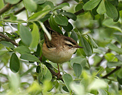 Sedge Warbler Acrocephalus schoenobaenus Tophill Low NR, East Yorkshire May 2013