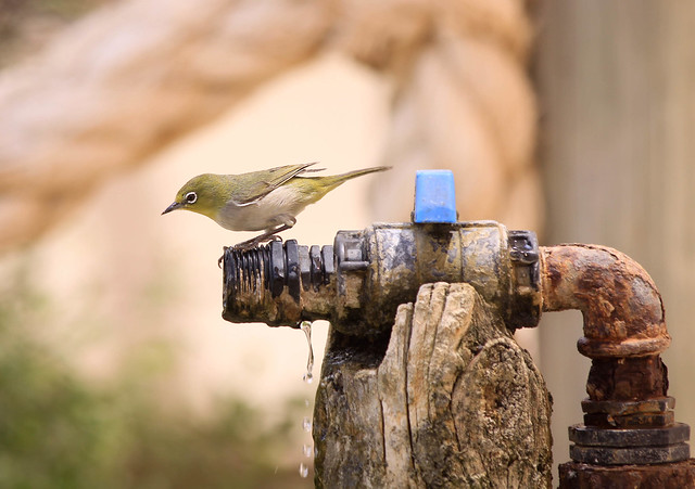 Little bird making the most of little water in the dry out back Western Australia