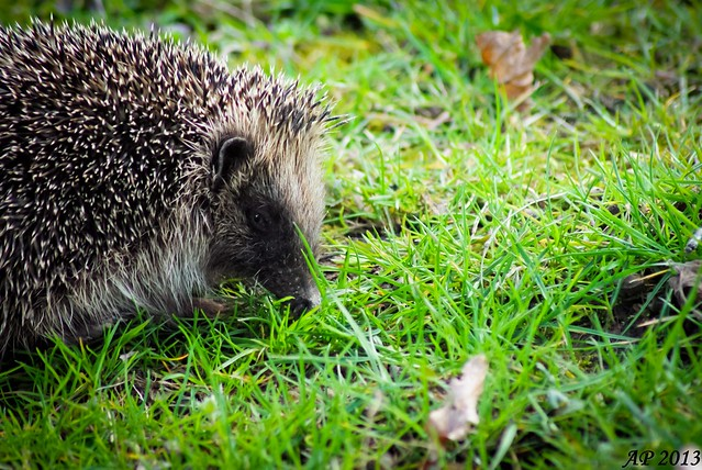 M. le Hérisson / Mr Hedgehog