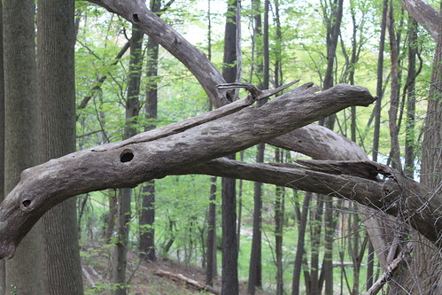 Slaughterhouse Trail - Old Branches