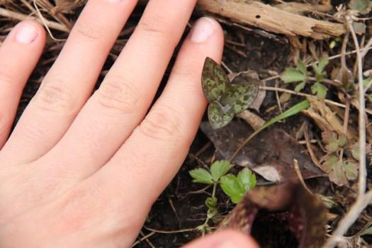 Maramech Forest Preserve Trillium leaves mosaic phenology
