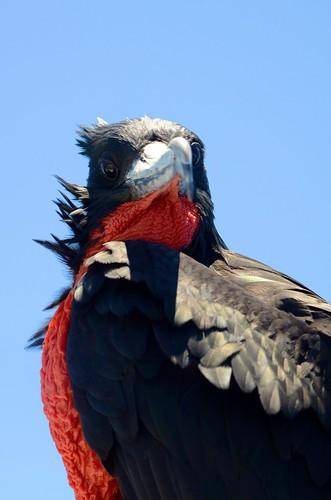 Male frigate bird 1