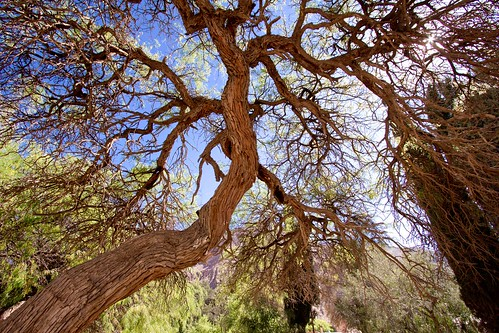Árbol centenario en Puramarca