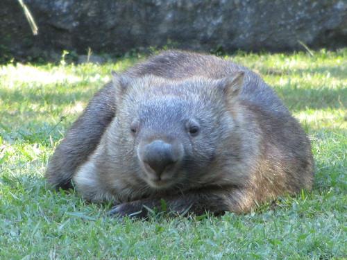 combat wombat in attack position