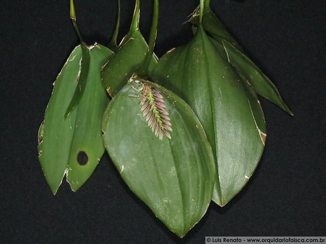 1376 - Pleurothallis pectinata