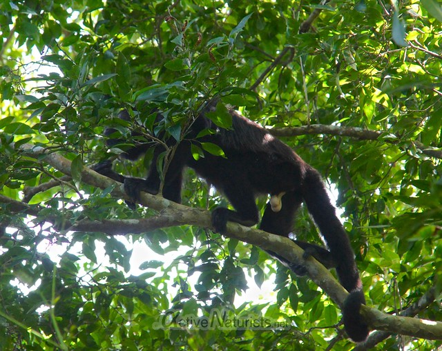 spider monkey 0002 Palenque, Chiapas, Mexico