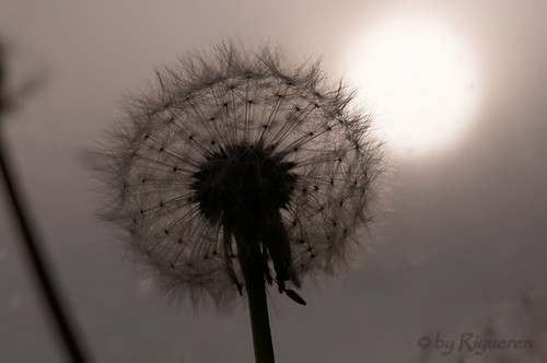 Dandelions and the rising sun