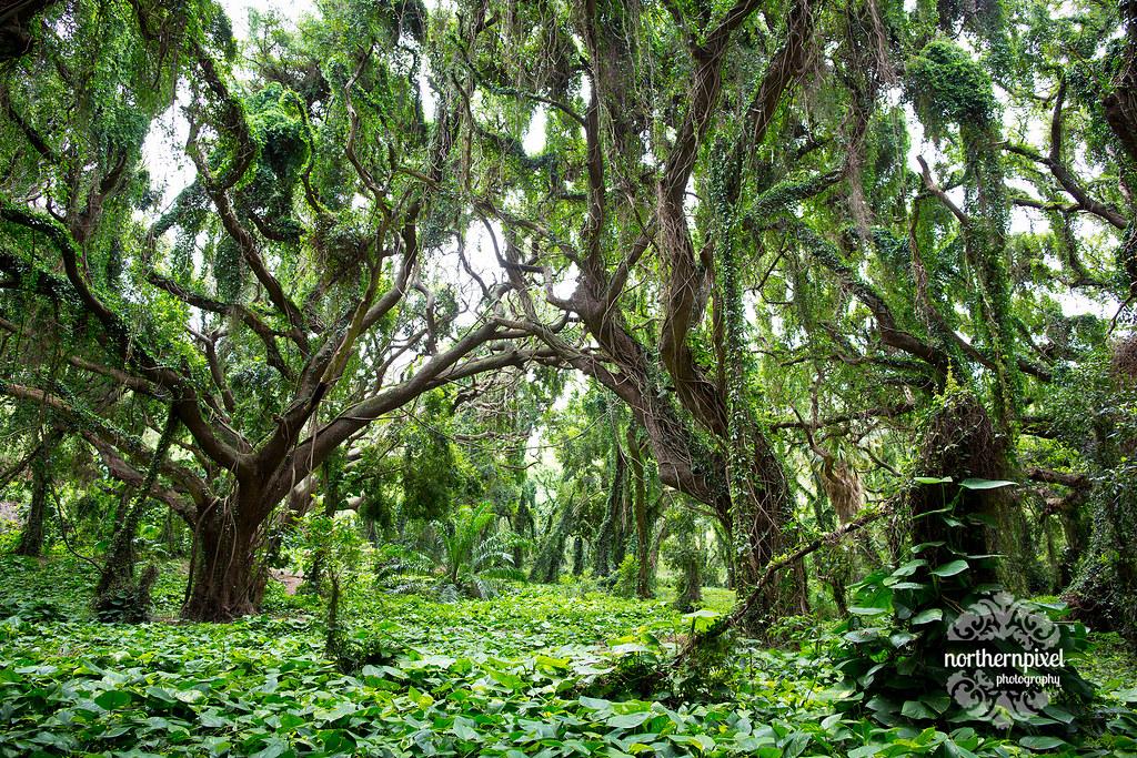 Honolua Bay Amazing Forest, Maui