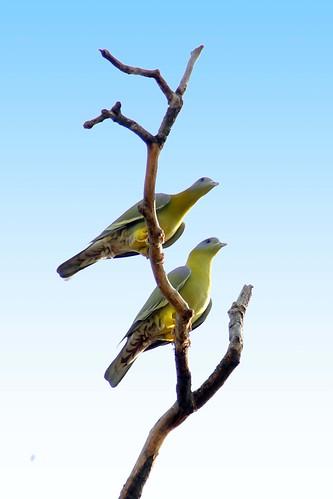 yellow footed pigeon by ShubhenduPhotography