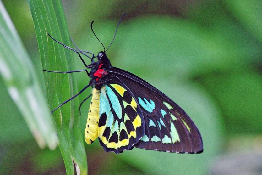 Australian Butterfly Sanctuary.