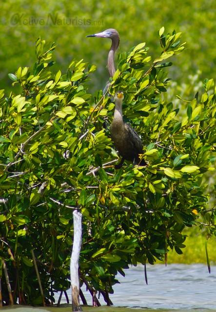 heron 0000 mangroves, Progreso, Yucatan, Mexico