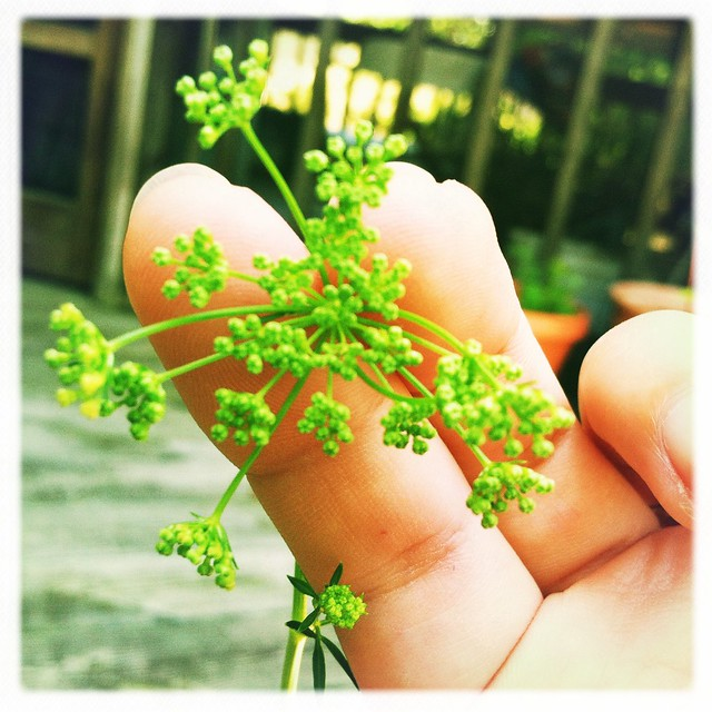 parsley flower