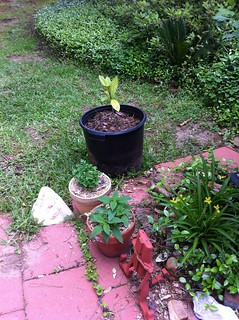 loquat sapling, parsley, pineapple sage