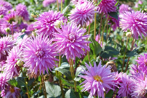 Worton Blue Dahlia