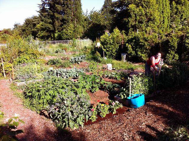 mama picking peas at the plot