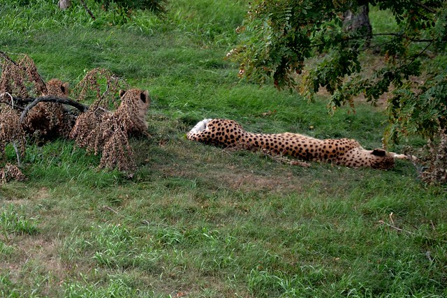 Cheetah Cub Camouflage