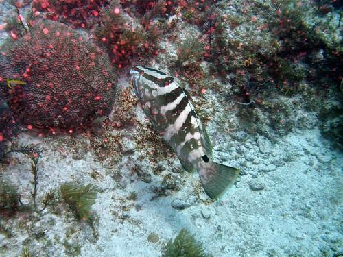 IMG_1780Endangered Nassau Grouper (Epinephelus striatus)