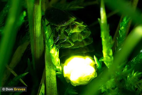 Glow Worm Jade