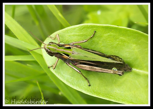 Common Green Grasshopper (Omocestus viridulus)