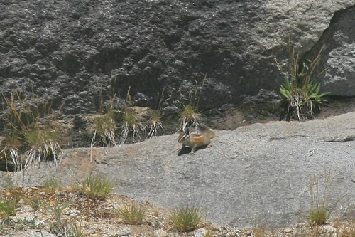Chipmunk in Yosemite National Park