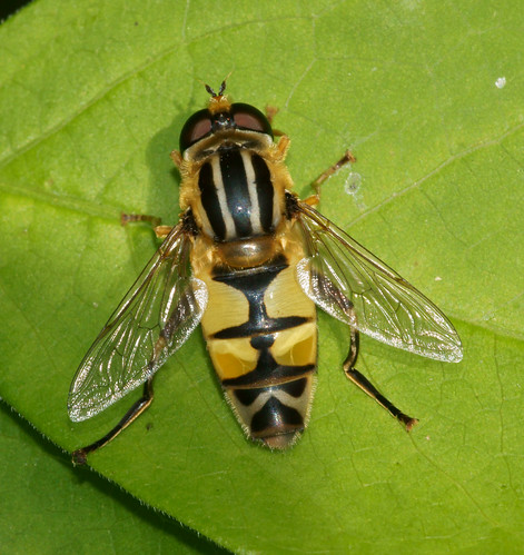 Heliophilus trivittatus, m.
