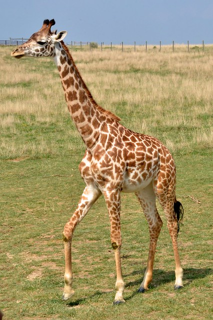Masi Giraffe