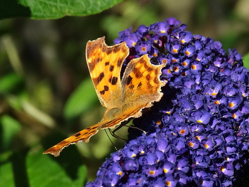 Comma Butterfly (Polygonia c-album) by tomp77