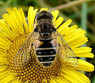 Eristalisar bustorum Tophill Low NR, East Yorks