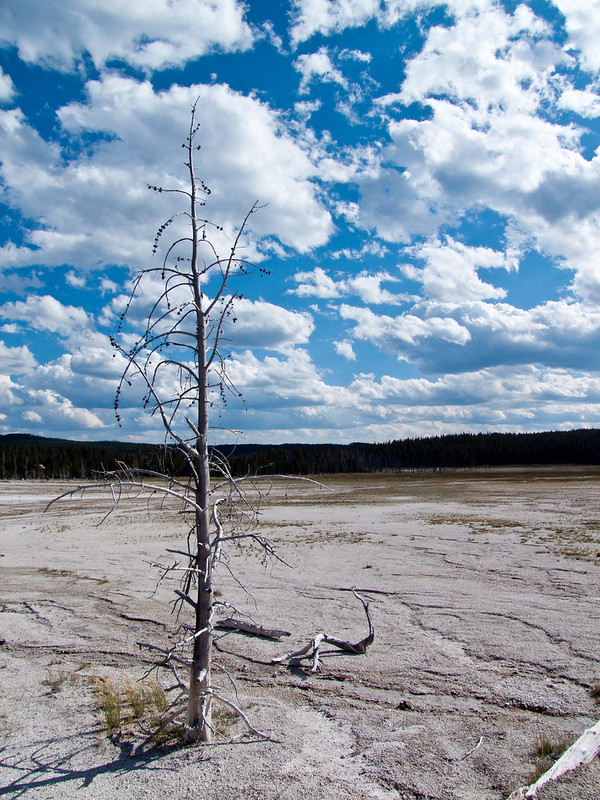 Dead Lodgepole Pine tree, on Fountain Paint Pot Trail