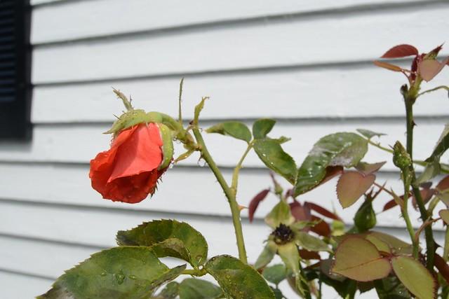 Rainy Cape Rose