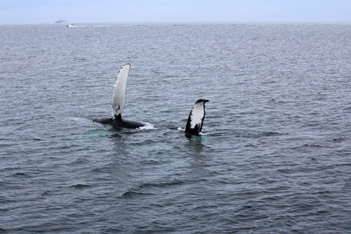 whale slapping water; cape cod, mass.