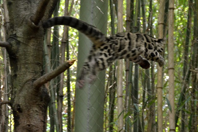 Clouded Leopard Leap!