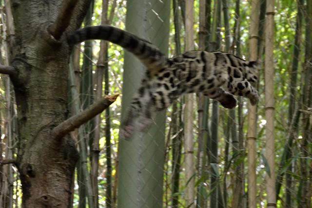Clouded Leopard Leap!