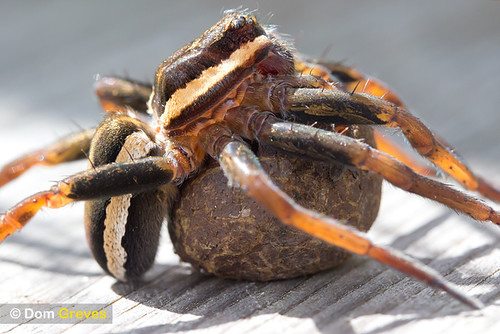 Raft spider carrying egg sac