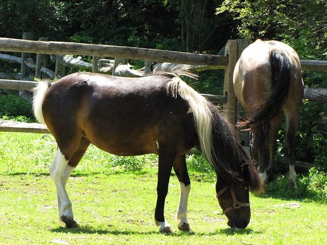 A Pony Grazing