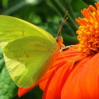 Winged Yellow on Orange