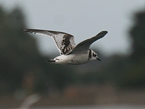 LittleGull, Tophill Low NR, East Yorks, Aug 2012