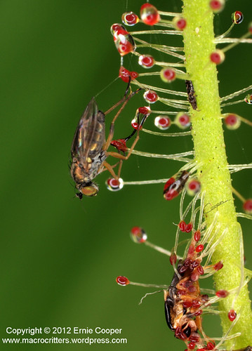 fly & drosera cropped © Ernie Cooper sm for post