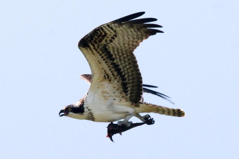 _DSC3692 Osprey